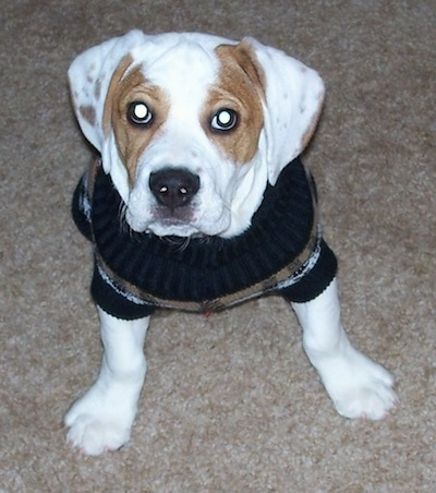 Rockne the Beabull as a puppy wearing a sweater sitting on a carpet
