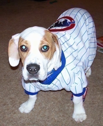 Rockne the Beabull as a puppy wearing a Chicago Cubs Jersey standing on carpet