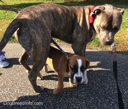 Luna the Beabull walking under Spencer the Pit Bull Terrier while on a leash