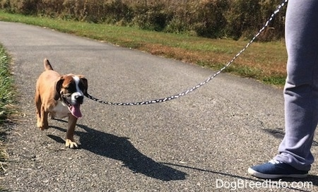 Luna the Beabull running on a blacktop while on a leash with her owner