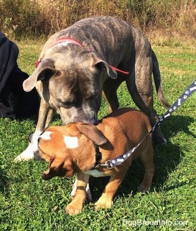 Spencer the Pit Bull Terrier nudging Luna the Beabull with his nose