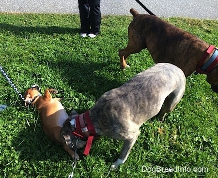 Spencer the Pit Bull Terrier sniffing Luna the Beabull who is belly-up and Bruno is behind Spencer