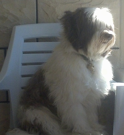 Pony the Bearded Collie sitting in a white lawn chair
