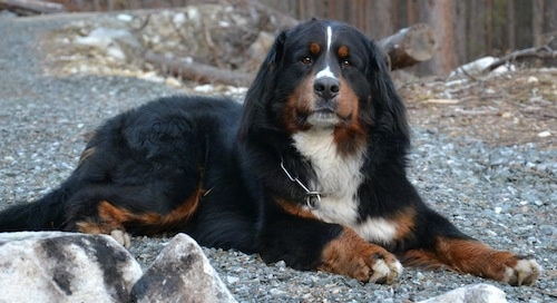 Vargas the Bernese Mountain Dog laying down in gravel