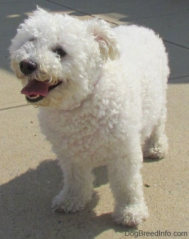 Casey the Bichon Frise standing on the sidewalk with its mouth open and its tongue out
