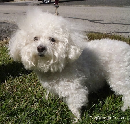Suzi the Bichon Frise standing on grass outside with a road behind her