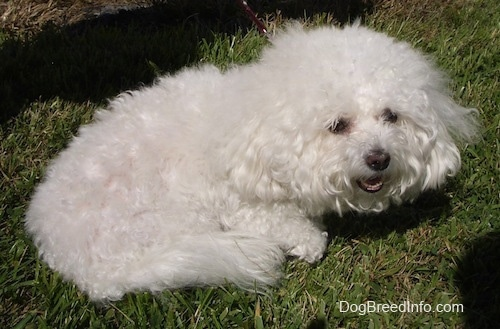 Suzi the Bichon Frise laying outside with her mouth open