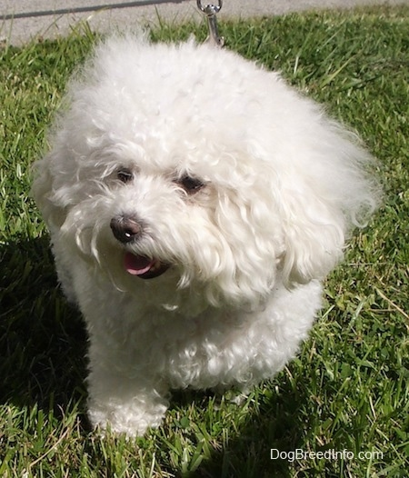 Close Up - Suzi the Bichon Frise sitting in grass