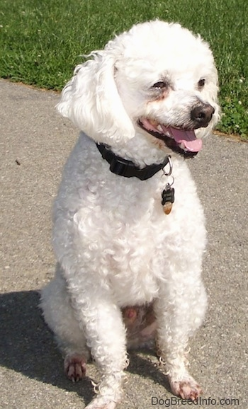 Xavier the Bichon Frise with his coat cut short sitting outside on the sidewalk and looking to the left