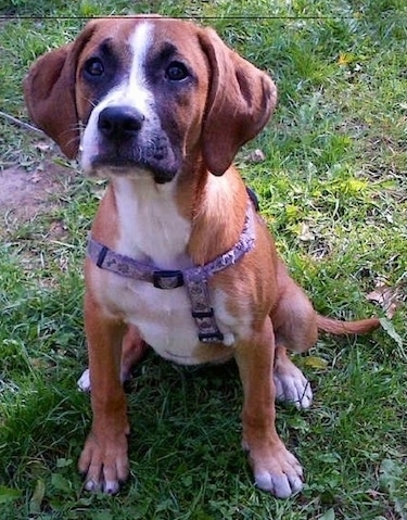 Chelsea the Bogle (Boxer / Beagle mix) puppy at 8 months old