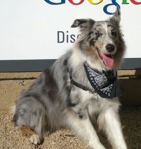 Close Up - Moose the Border Collie wearing a black and white bandana sitting in front of a Google sign with its mouth open and tongue out.