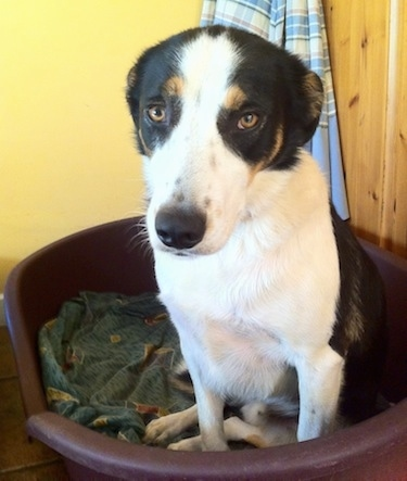 Gill the Border Collie laying in a plastic bucket type dog bed with its ears back