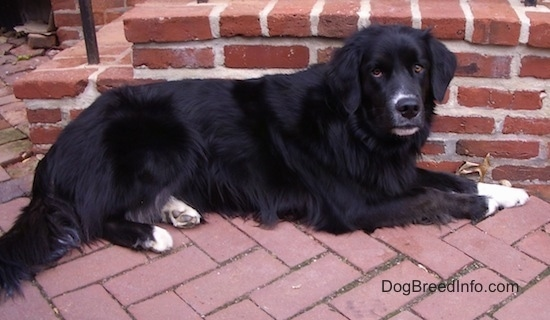 The right side of a black Border Newfie that is laying on a brick sidewalk, against a brick staircase and it is looking forward.