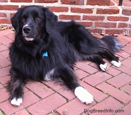 A black with white Border Newfie is laying on a brick sidewalk and it is looking to the left.