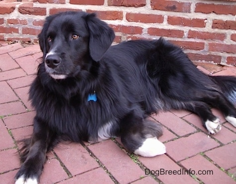 The front left side of a black with white  Border Newfie that is laying across a brick sidewalk and it is looking to the left.
