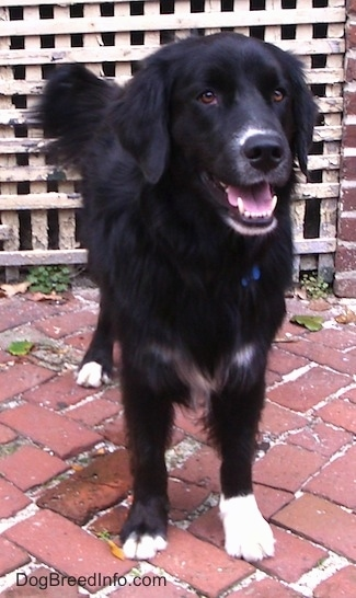 A black with white Border Newfie is standing on a brick sidewalk, it is looking forward and there is a wooden fence behind it.