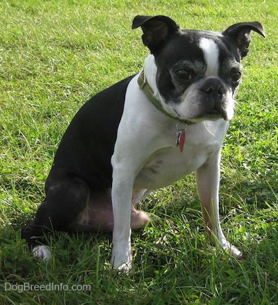 Boston Terrier Dog Breed Information And Pictures