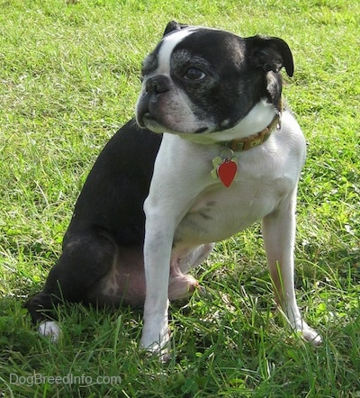 Tater the Boston Terrier sitting outside in the grass and looking to the right