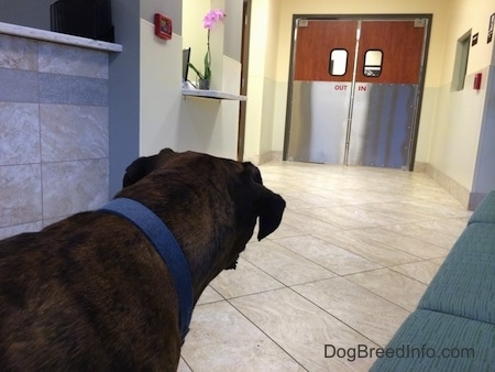 Bruno the Boxer looking at the emergency room swinging doors