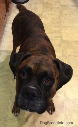 Close Up - Bruno the Boxer standing in a kitchen looking up at the camera