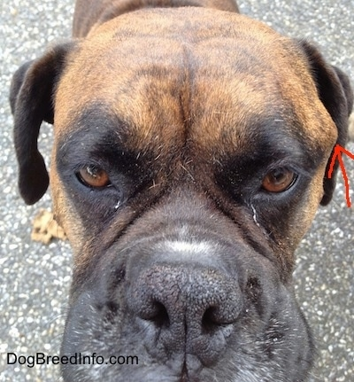Close Up - Bruno the Boxers face with an arrow pointing to the tumor on the left side of his head