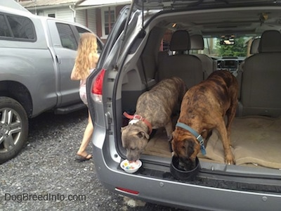 Spencer the Pit Bull Terrier and Bruno the Boxer eating out of dog bowls in the back of a van