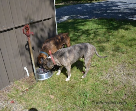 Bruno the Boxer and Spencer the Pit Bull Terrier drinking water out of a dog bowl next to a metal building