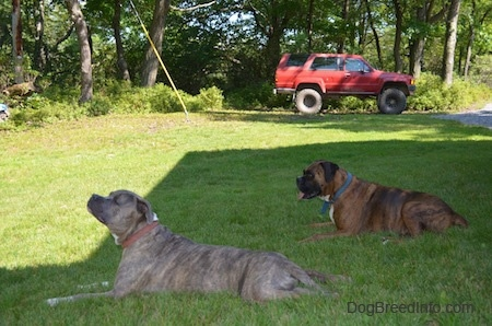 Bruno the Boxer and Spencer the Pit Bull Terrier laying in a lawn with an old red Toyota 4-Runner behind them
