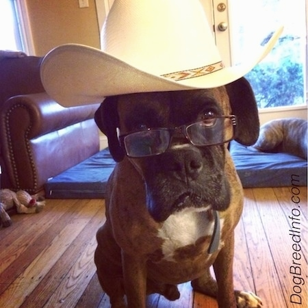 Bruno the Boxer is sitting in a house wearing a cowboy hat and a pair of reading glasses