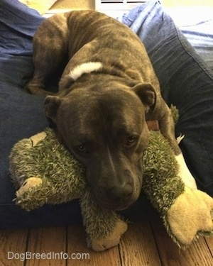 Spencer the Pit Bull Terrier laying on a dog bed with his head resting on a frog plush toy