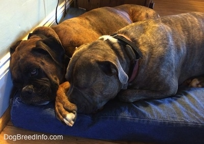Bruno the Boxer and Spencer the Pit Bull Terrier snuggled together on a dog bed. Brunos paw is on Spencer's nose