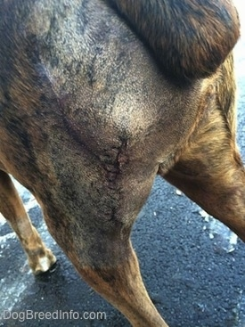 Sutures on the backside of Bruno the Boxer