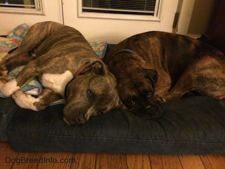 Bruno the Boxer and Spencer the Pit Bull Terrier laying together in a dog bed