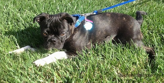 Murphy the Bugg puppy wearing a blue collar and leash laying outside in grass