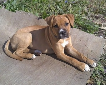 Destiny the Bullboxer Pit as a puppy laying on a rug outside