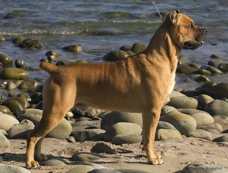 GCH Campo's Solomon di RockHaven the Cane Corso Italiano is beachside. There are a lot of rocks next to him. He is standing in front of a body of water