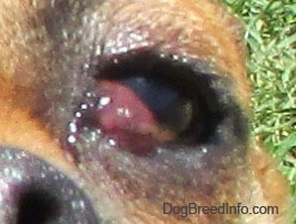 Close Up - Puggle's right eye with a red bulging pocket in the inside corner