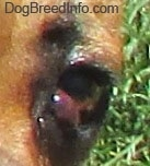Close Up - Puggle with a red bubble coming from the corner of the eye