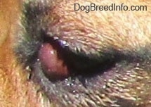 Close Up - Closed eye, with still exposed red bulge of the cherry eye