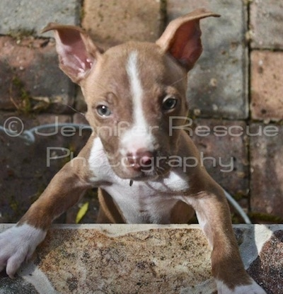 Baby E the Pit Bull Terrier standing Against a wall and looking directly at the camera holder