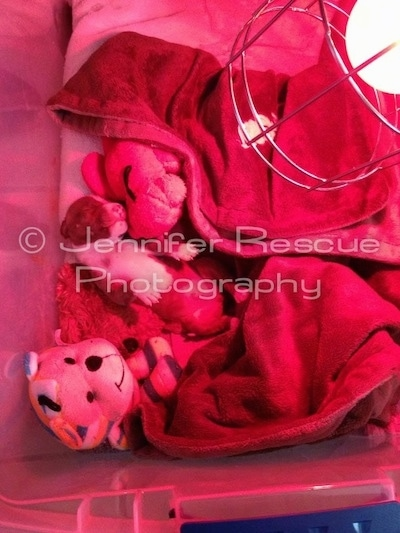 Baby E the Pit Bull Terrier is laying in a homemade incubator next to a couple of plush doll toys