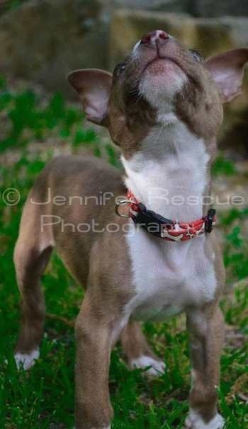 Baby E the Pit Bull Terrier istanding in grass with his head up looking above him