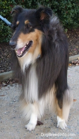 Kohler the black, tan and white tricolor Rough Collie is standing on a sidewalk in front of a bush. Kohlers mouth is open and he is connected to a blue leash