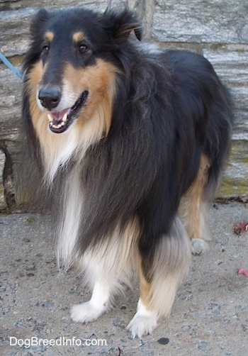 Kohler the black, tan and white tricolor Rough Collie is standing outside on concrete and there is a wooden wall behind him