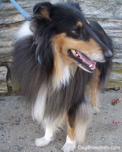Kohler the black, tan and white tricolor Rough Collie is standing outside and there is a stone wall behind him and he is looking to the right