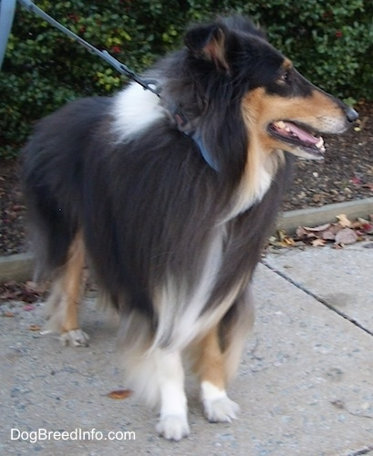 Kohler the black, tan and white tricolor Rough Collie is standing outside on a street with a row of bushes behind him
