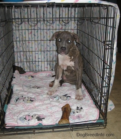 Spencer the Pit Bull Terrier is sitting in the back corner of a dog crate that is covered by a white sheet. There is a dog bone in front of him