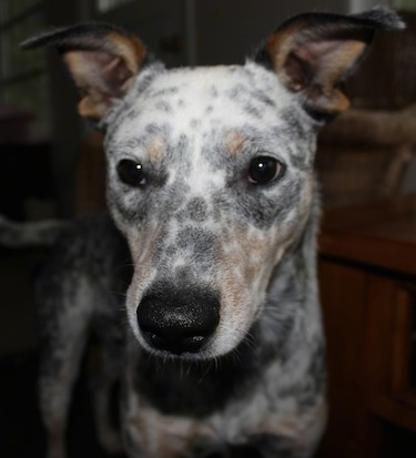 Close Up - Pepper the Dalmatian Heelers face