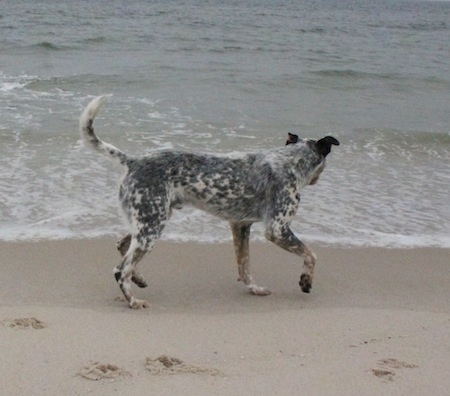 Pepper the Dalmatian Heeler is on the beach looking at the water
