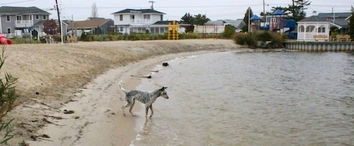 Pepper the Dalmatian Heeler is standing partially in water. There are homes in the background